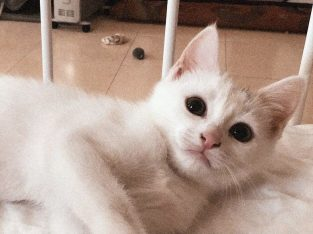 قطط مكس شيرازي وسيامي